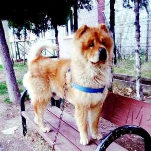Reis çok yakışıklı Çin aslanı oğlumuza çok iyi bakılacağı bahçeli güzel bir yuva arıyoruz.