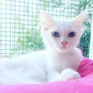 4 aylık, dişi, Ankara kedisi