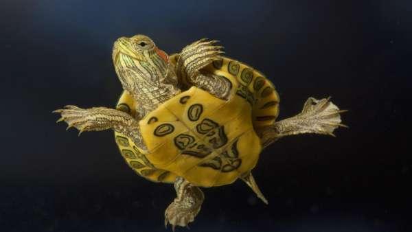 Evlerini Sırtlarında Taşıyan Sevimli Dostlarımız Kaplumbağalar