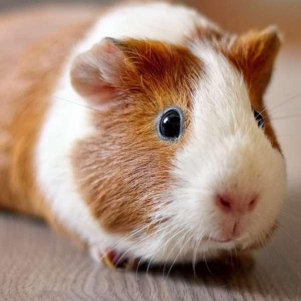 Gine Domuzu (Guinea Pig) Sahiplenmek İsteyenleri Buraya Alalım