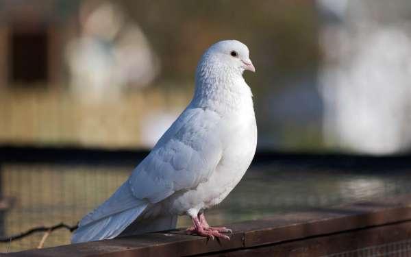 Güvercin Bakımı ve Yetiştiriciliği