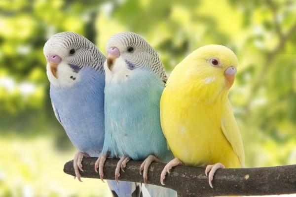 Kanatlı Dostlarımız Muhabbet Kuşları