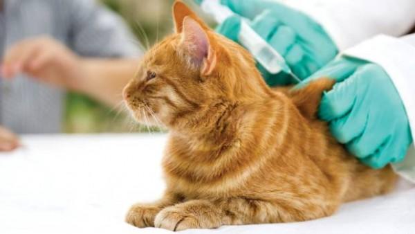 Kedi Aşıları ve Aşı Takvimi
