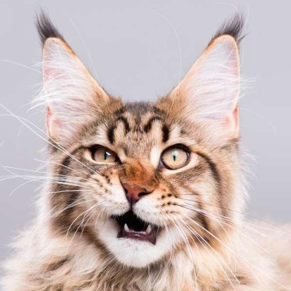 Kedilerin Bıyıkları Kesilirse Dengeleri Bozulur Mu?