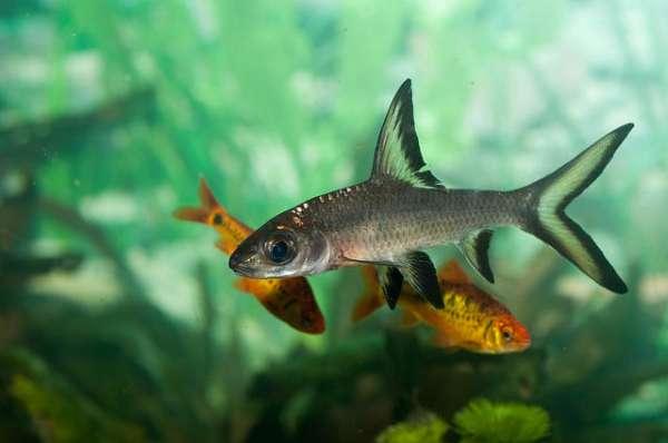 Kristal Köpek Balığı Bakımı