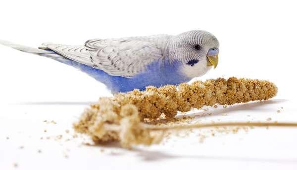 Muhabbet Kuşlarında İştahsızlık