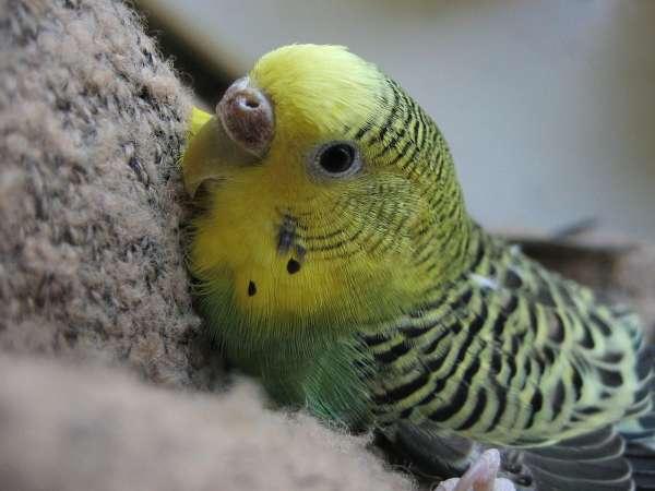 Muhabbet Kuşlarının Tırnak Kesimi ve Bakımı