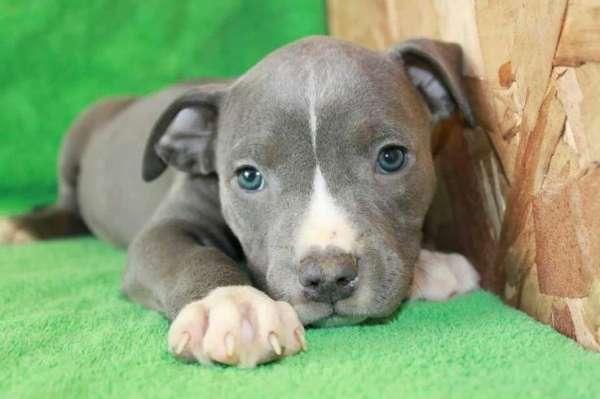 Pitbull Cinsi Köpekler Hakkında Bilinmesi Gerekenler