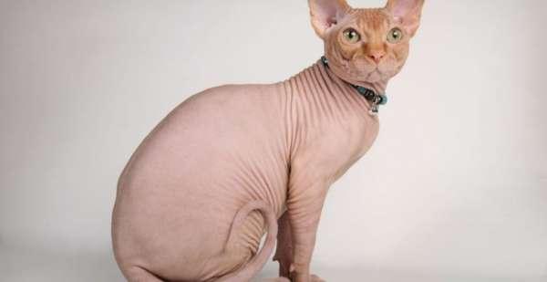 Tüysüz Kedi; Sfenks