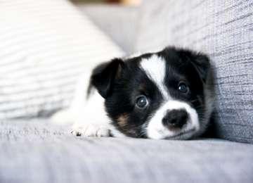 Bir Köpekle Aynı Evi Paylaşacaklara Tavsiyeler