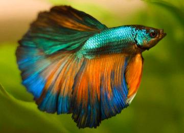 Birbirinden Güzel Renkleriyle Göz Dolduran Bir Tür: Beta Balığı
