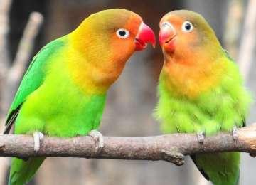 Cennet Papağanı Özellikleri ve Bakımı