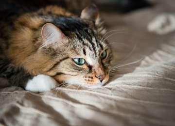 Halk Arasında Kedi Aids'i Olarak Bilinen Feline Immunodeficiency Virüs (Fiv) Hastalığı