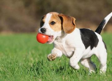 """Hüzünlü Bakışları ve Dost Canlısı Tavırlarıyla Kalbimizi Kazanan """"Beagle"""" Hakkında Bilinmesi Gerekenler"""