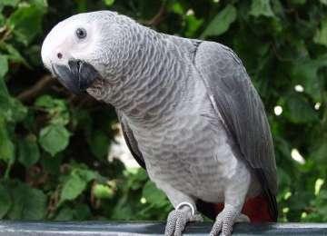 Jako Papağanı Namıdiğer Gri Papağan Bakımı ve Özellikleri