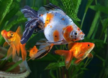 Japon Balıklarının Bakımı ve Beslenmesi