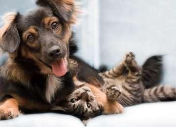 Kedi ve Köpekleri Birbirlerine Alıştırmak Mümkün Müdür?