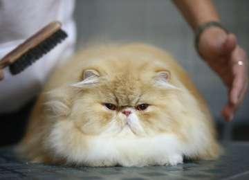 Kedilerin Tüylerini Taramak Neden Önemlidir?