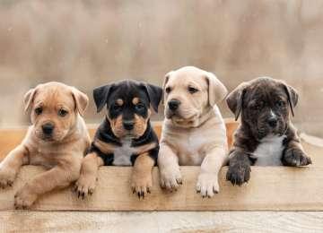 Köpekler Kaç Yıl Yaşar? - Köpeklerin Yaşını Hesaplamak