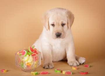 Köpeklerde Diyabet Belirtileri ve Tedavisi