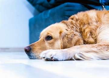 Köpeklerde Görülen Genetik Hastalıklar