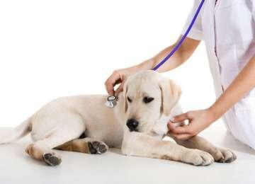 Köpeklerde Hepatit Belirtileri ve Tedavisi