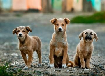 Köpeklerde Kısırlaştırma, Faydaları ve Zararları
