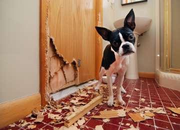Köpeklerde Pika Sendromu