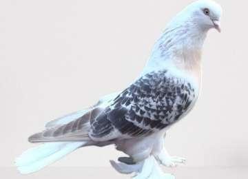 Mardin'in Meşhur Taklacı Güvercinleri