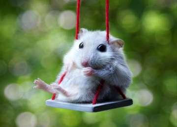 Minik Dostlarımız Hamsterlar Hakkında Bilinmesi Gerekenler