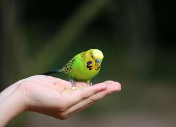 Muhabbet Kuşunuz Isırıyorsa Ne Yapmalısınız?