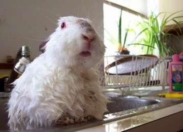 Tavşanlar Yıkanır Mı?