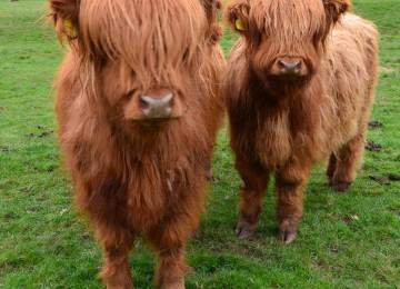 Yeni evcil hayvanınız İskoç Buzağı (Scottish Highland) olabilir.