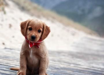 Yetişkin Köpekleri Yavru Köpek Mamasıyla Beslemek Sakıncalı Mıdır?
